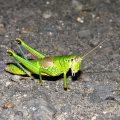 ミカドフキバッタ雌個体